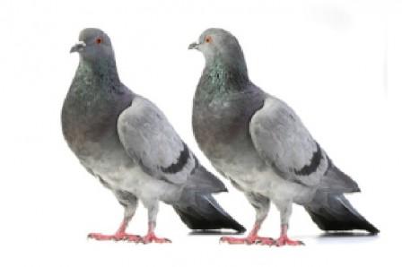 Tauben